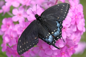 Swallowtail on phlox... again