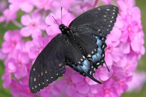 Swallowtail on phlox... again