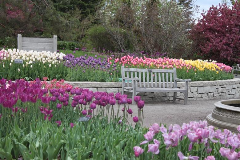 Mass Planting of Tulips II